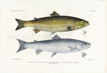 THE SEA TROUT or SEWEN print