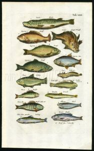 MERIAN & JONSTON - PIKE, CARP, TENCH. PERCH, ATLANTIC SALMON PARR print
