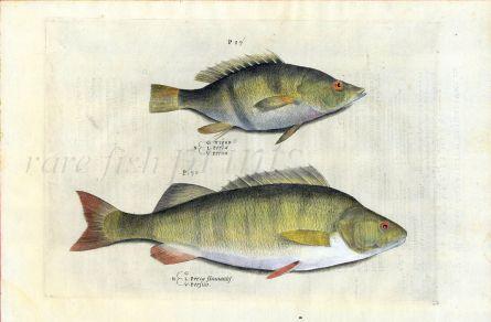 SALVIANI - THE PERCH fish print (Perca) 1554