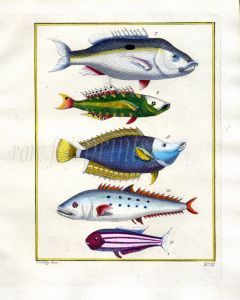 PLATE TWO: EXTRAORDINARY FISHES OF AMBON - SNAPPER, YELLOWTAIL, QUEENFISH print