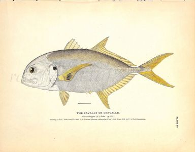 THE CAVALLY OR CREVALLE print
