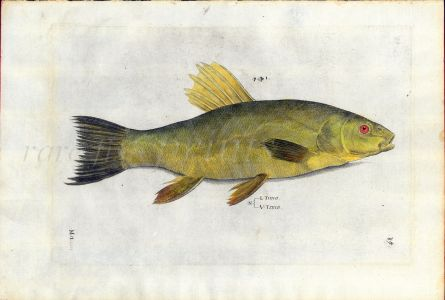 SALVIANI - THE TENCH fish print (Tinca)