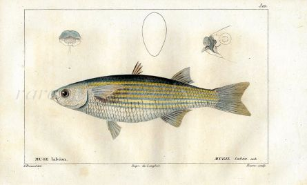 CUVIER - THE THICKLIP GREY MULLET fish print