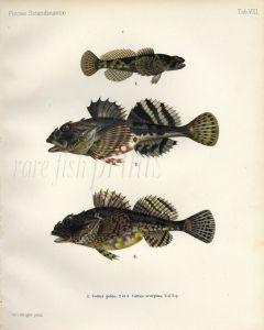 THE EUROPEAN BULLHEAD & SEA SCORPION print (Cottus gobio & scorpius)