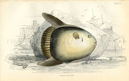 JARDINE/LIZARS - THE SHORT SUN FISH print