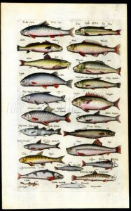 MERIAN & JONSTON - BROWN TROUT, GRAYLING, BARBEL, ORFE, NASE,  print
