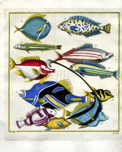 PLATE THREE: EXTRAORDINARY FISHES OF AMBON - WHITE BARRED TRIGGERFISH, BANNERFISH, WRASSE print