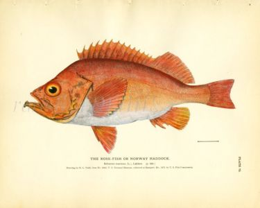 THE ROSEFISH OR NORWAY HADDOCK print