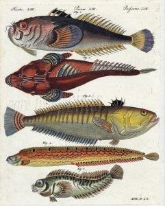 THE STARGAZER, BUTTERFISH, WEEVER, BLENNY print