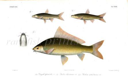 DANGILA LEPTOCHEILUS & RASBORAS carp print