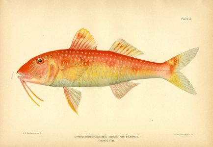 THE RED GOATFISH print