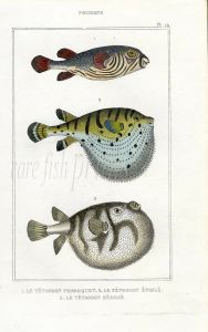 LACÉPÈDE TOAD, STARRY GLOBE, SEA WEATHER COCK PUFFERFISH print