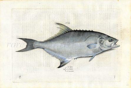 SALVIANI - THE MEDITERRANEAN LEERFISH fish print (Lichia amia) 1554