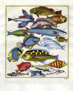 PLATE FOUR: EXTRAORDINARY FISHES OF AMBON - FLYING GURNARD, RAINBOW RUNNER, CHECKERED SNAPPER print