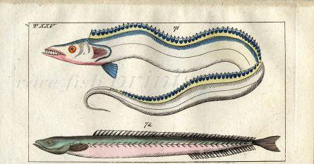 THE HAIRTIAL RIBBONFISH print