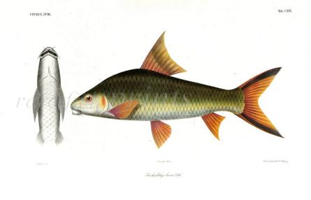 BARBBICHTHYS LAEVIS  - SUCKER BARB print