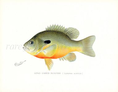 THE LONG EARED SUNFISH ( Lepomis Auritus)