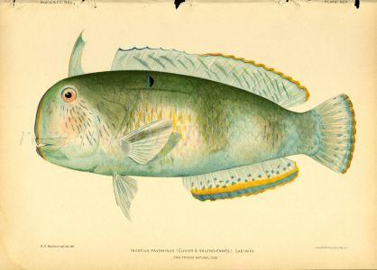 THE PEACOCK WRASSE print (Iniistius Pavoninus Cuvier)