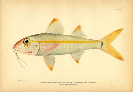 THE YELLOW GOATFISH print