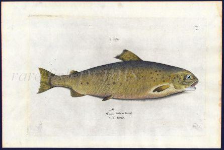 SALVIANI - THE BROWN TROUT fish print (Salar trotta) 1554
