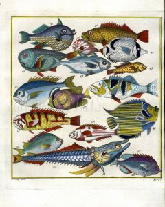 PLATE FIVE: EXTRAORDINARY FISHES OF AMBON - WRASSE, EMPEROR OF JAPAN, ARMOURED SEAROBIN print