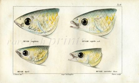 CUVIER - HEADS OF GREY MULLET print