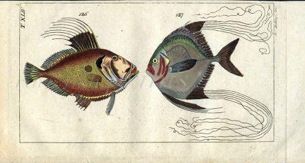 THE JOHN DORY & THREADFIN TREVALLY fish print