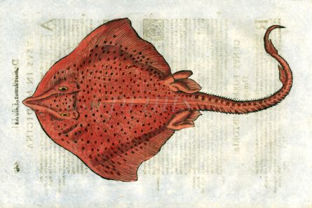 ALDROVANDI - THE SPOTTED RAY print