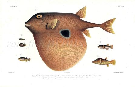 TRIODON BURSARIUS -  THE THREE TOOTHED PUFFER print