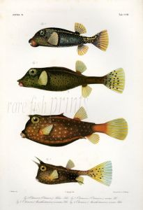 THE BLUE, SHORTNOSE, YELLOW, HORNED BOXFISH print (Ostracion)