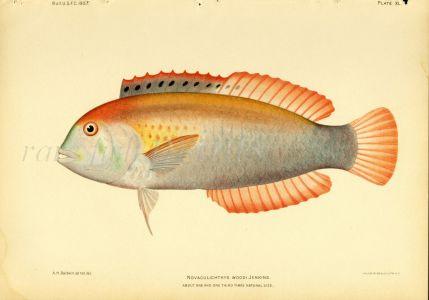 WOOD'S RAZORFISH print (Novaculichthys)