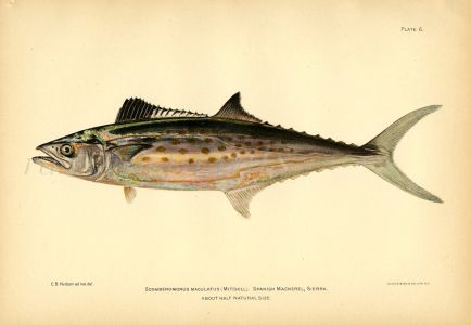 THE SPANISH MACKEREL fish print