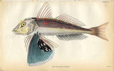JARDINE/LIZARS - THE  NEW ZEALAND GURNARD fish print 1843