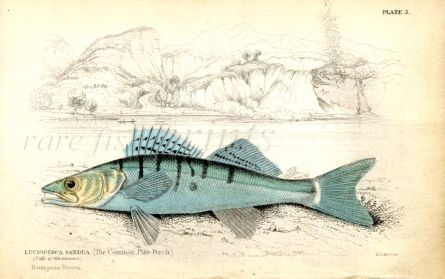 THE COMMON PIKE PERCH print