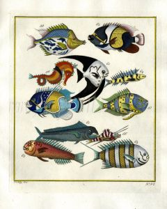 PLATE SIX: EXTRAORDINARY FISHES OF AMBON -  SPADEFISH, BLUE-GIRDLED ANGELFISH, DORADO print