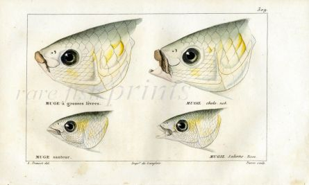 CUVIER - HEADS OF MULLET fish print