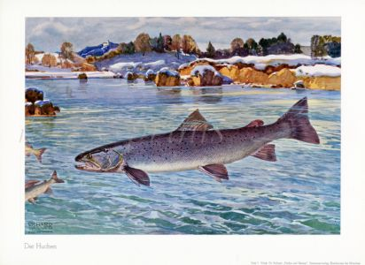 WAGNER - THE HUCHEN or DANUBE SALMON print
