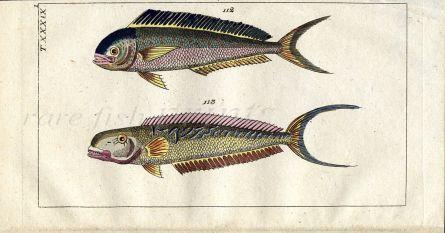 THE DORADO DOLPHIN & SEA PEACOCK fish print