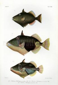 THE TRIGGERFISH print  (Balistes)