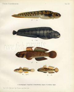 THE EELPOUT, SEACAT or WOLFFISH, BLACK GOBY print (Enchelyopus, Anarrhichas, Gobius)