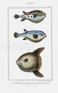 LACÉPÈDE SEA PENTON, TIGER HEDGEHOG, MOON SUNFISH print