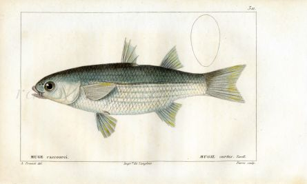 CUVIER - THE GREY MULLET fish print