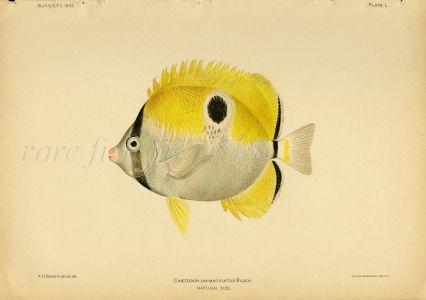 TEARDROP BUTTERFLYFISH print (Chaetodon Unimaculatus - Bloch)