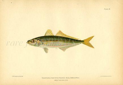 THE SCAD HORSE MACKEREL fish print