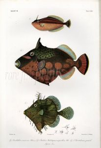 THE RHINO LEATHERJACKET, PRICKLY LEATHERJACKET & FILEFISH print (Pseudaluteres, Balistes, Chaetodermis)