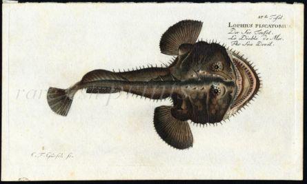 THE SEA DEVIL print (Lophius Piscatorius)