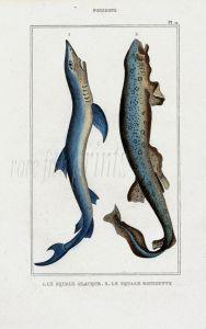 LACÉPÈDE TIGER DOGFISH, BLUE SHARK print