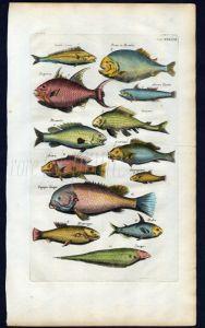 MERIAN & JONSTON -  MERIAN & JONSTON - BRAZILIAN, SOUTH AMERICAN FISH - PIRANHA print 1657