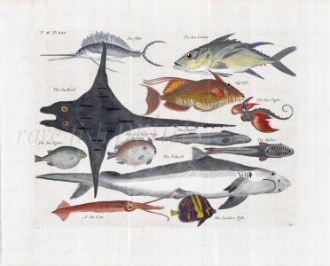 NIEUHOF/CHURCHILL COPPERPLATE ENGRAVING  PL.43 SAILFISH, TRIGGERFISH, DEVIL MANTA RAY, SHARK, SEA EAGLE, REMORA, PUFFERFISH  1744