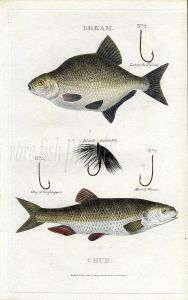 SCOTT/BUNNEY & GOLD: BREAM & CHUB fishing print 1801